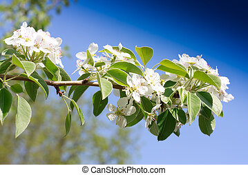 Branches of a blossoming apple-tree against the blue sky