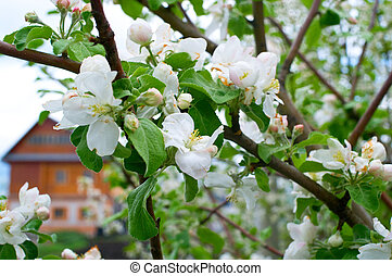 blossoming apple-tree against the wooden house