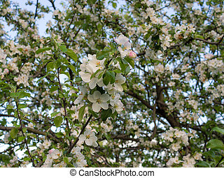 branches of a blossoming apple tree