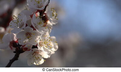 Branches of a blossoming apricot against the blue sky. Close-up