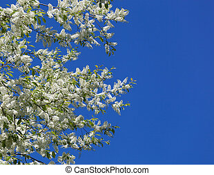 Branches of a blossoming bird cherry against the clear blue sky