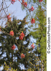 Acer rubrum - branches of a blossoming maple in the spring...