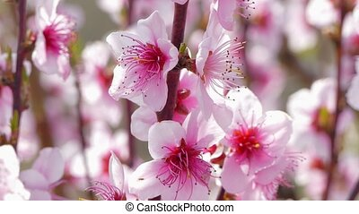 Branches of a blossoming peach tree