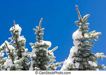 Branches of a blue spruce covered with snow closeup