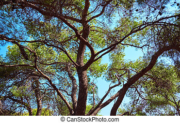 Branches of a coniferous tree against the sky