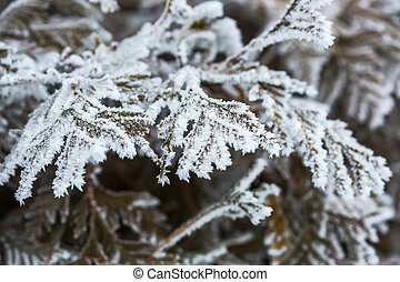 branches of a cypress tree covered with snow