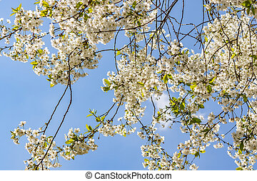 Branches of a flowering tree. Cherry tree in white flowers. spring Sunny day