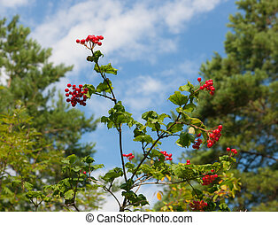 Branches of a guelder-rose