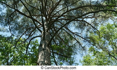 Branches of a huge pine overhead - Branches of a huge pine...