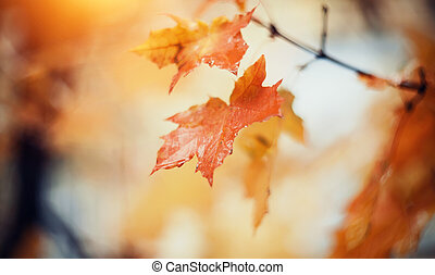 Branches of a maple with autumn leaves