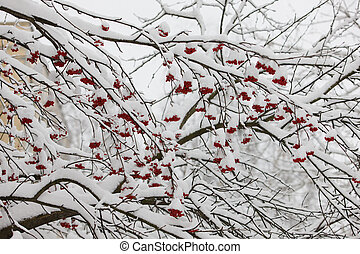 Branches of a mountain ash