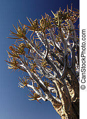 Branches of a Quiver Tree against blue sky