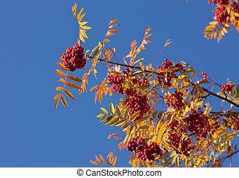rowan tree - Branches of a ripe autumn rowan tree