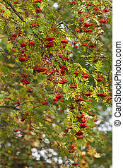 branches of a ripe mountain ash