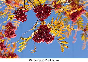 Branches of a ripe rowan tree