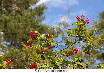 viburnum in forest
