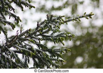 branches of a tree in the snow. spruce