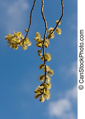 willow in the spring