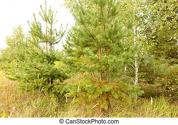Branches of a young pine in the forest
