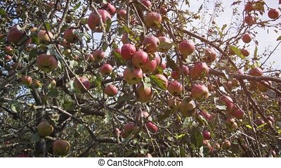 Branches of a healthy apple tree, heavy with fruit, awaiting harvest at a rural farm in the Carpathian mountains. FullHD stock footage