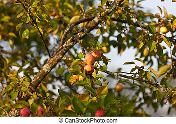 Branches of an apple-tree