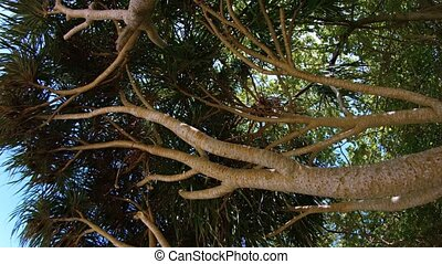 Branches of an Aromatic Pandan Tree - FullHD video - Looking...