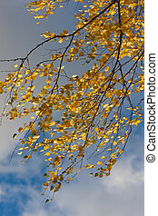 Branches of an autumn birch