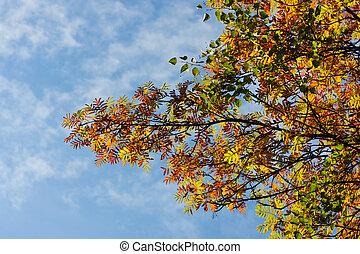 Branches of an autumn mountain ash