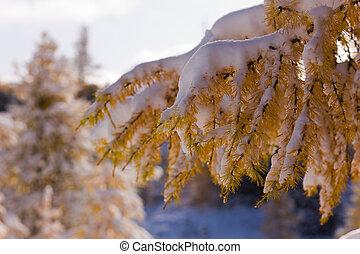 larch under snow