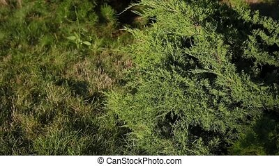 Branches of an ornamental plant on a sunny day. - Branches...