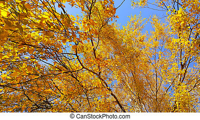 Branches of autumn birch tree with bright yellow foliage