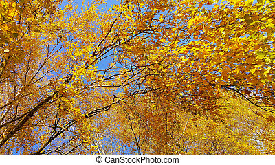 Branches of autumn birch tree with bright yellow leaves