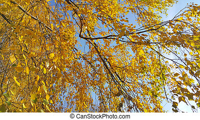 Branches of autumn birch tree with yellow leaves against blue sky