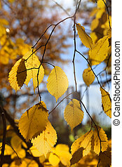 Branches of autumn elm-tree with bright yellow leaves