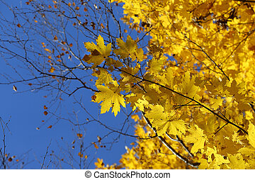 Branches of autumn maple with bright yellow leaves