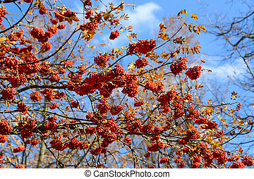 Branches of autumn mountain ash or rowan with bright red berries