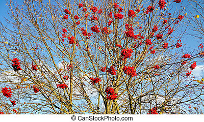 Branches of autumn mountain ash with bright red berries