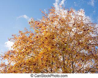 branches of autumn rowan