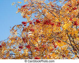 autumn rowan against the sky