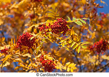 Branches of autumn rowan tree