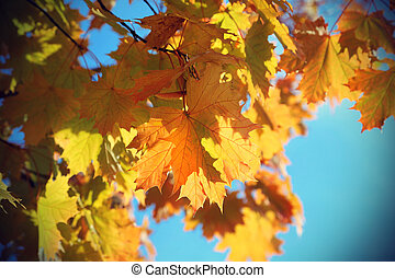 Branches of beautiful autumn maple