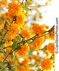 Branches of beautiful yellow flowers