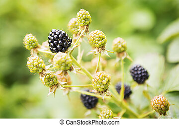 Branches of berries of blackberry