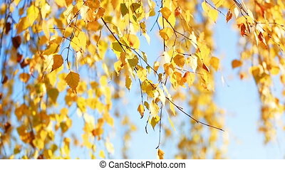Branches of birch with golden autumn leaves