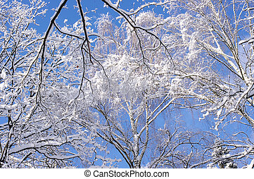 Branches of birches under snow against a blue sky in winter