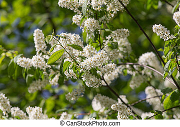 branches of bird cherry