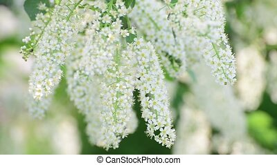 Branches of blooming bird cherry tree with white flowers