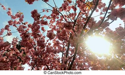 Branches of blooming pink sakura against the blue sky. The sun shines through the foliage. Shooting from a low point. Wide angle. High quality 4k footage.