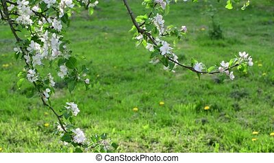 Branches of blossoming apple tree