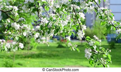 Branches of blossoming apple tree in city
